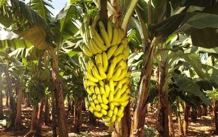 Produção de banana na província do Bengo deverá atingir 360 mil toneladas