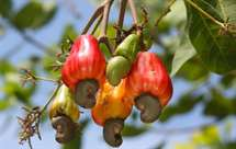 Exportação de castanha de caju atingiu número recorde durante a presente campanha