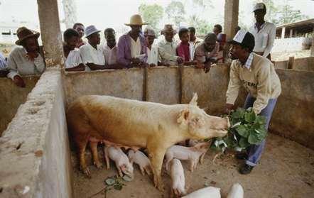 Circulação de suínos interdita a partir da cidade da Beira