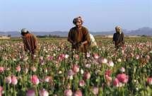 Campos de cultivo de papoila do ópio no Afeganistão