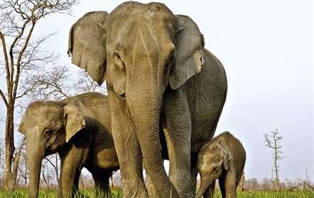 População de elefantes  no nível mais baixo desde 1991